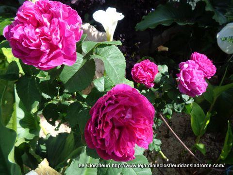 Mon rosier Alexis Lepère