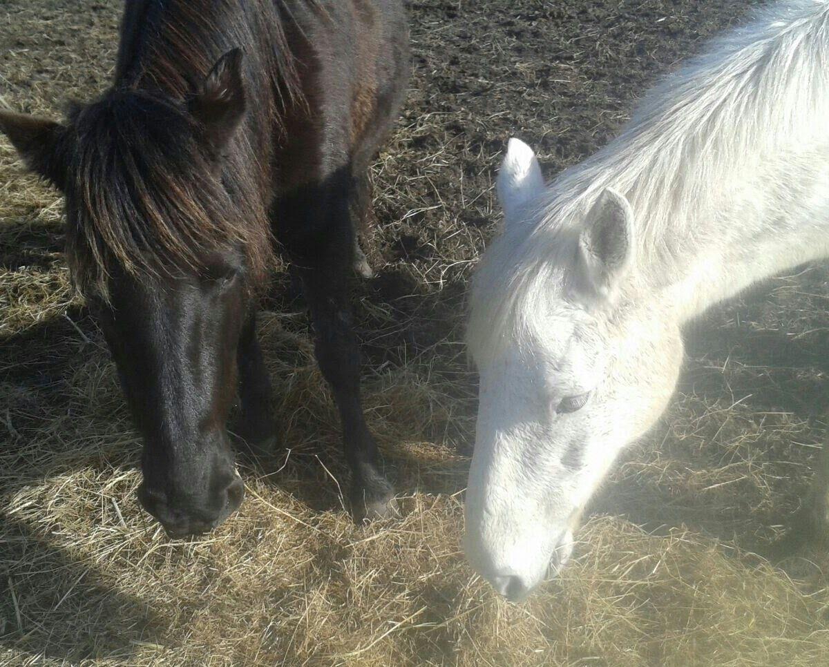 Cheval blanc cheval noir contes des h veilleurs - Cheval a imprimer noir et blanc ...
