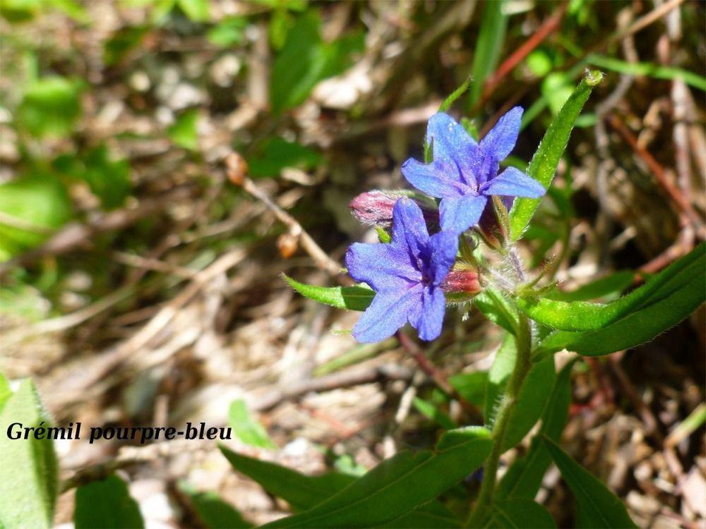Grémil pourpre bleu (Photo de Galipette)