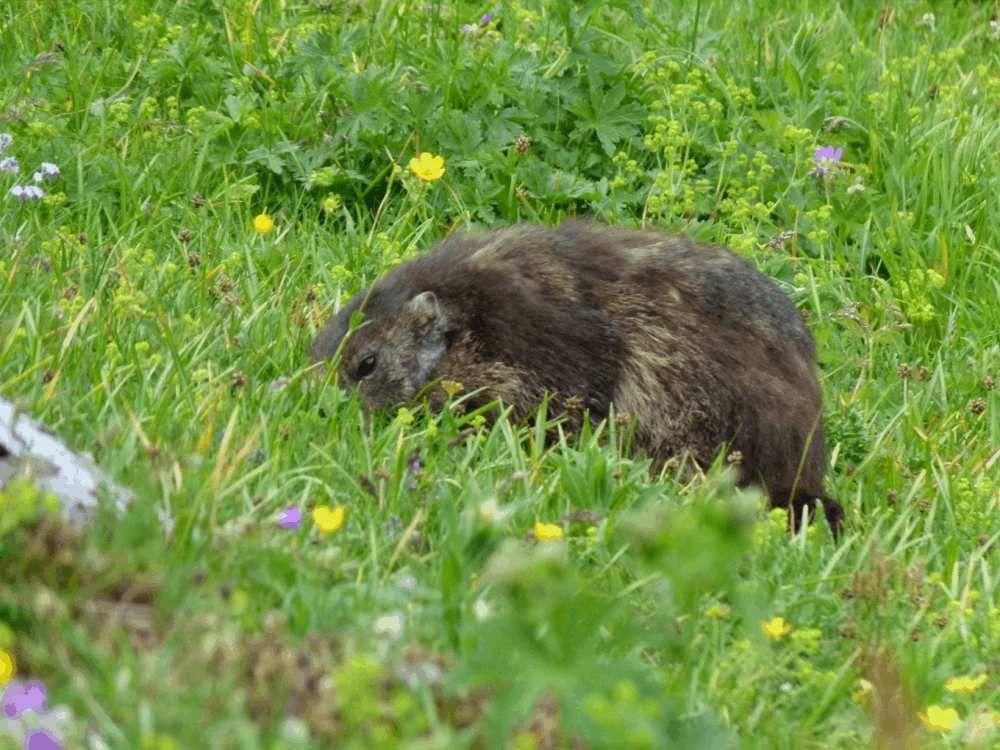 Marmottes: ...Allez, c'est l'heure de manger.....