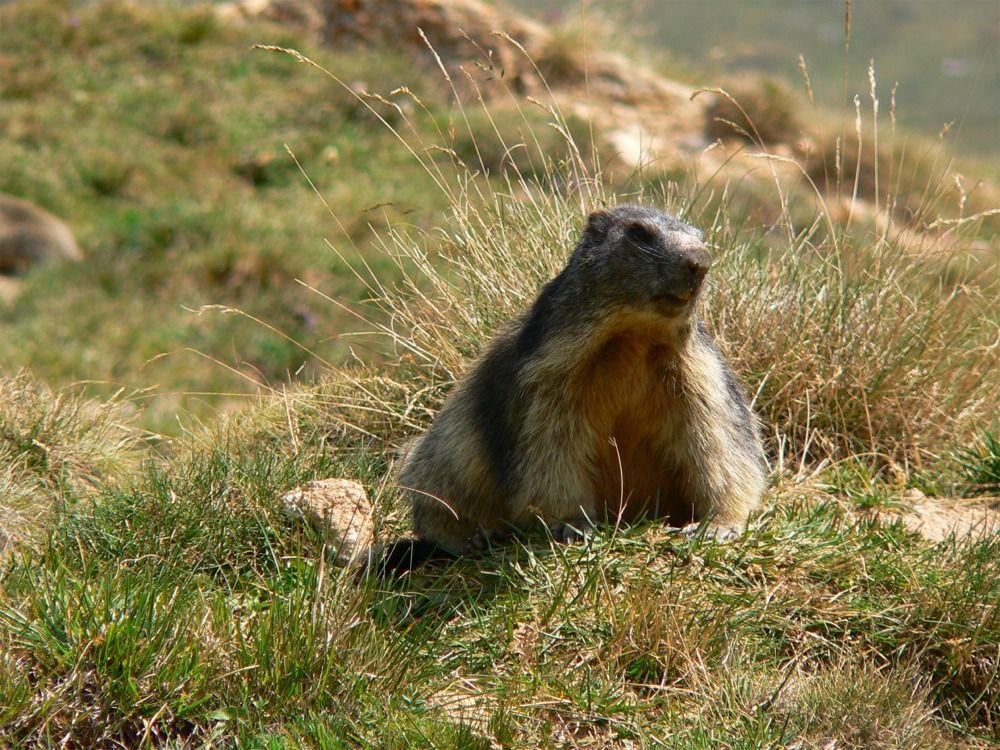 Marmottes:... Pendant ce temps, nous on fait le guet!!!!