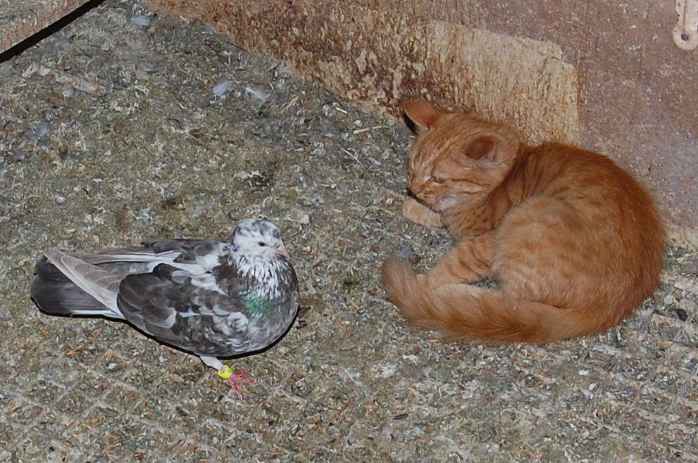 Un bonjour Chachou pigeon ! Pas de doute c'est l'heure du repas pour les pigeons... pour le chat aussi !