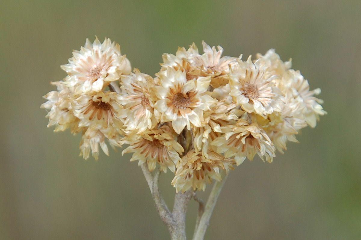 des fleurs d'immortelle ! c'est très beau.