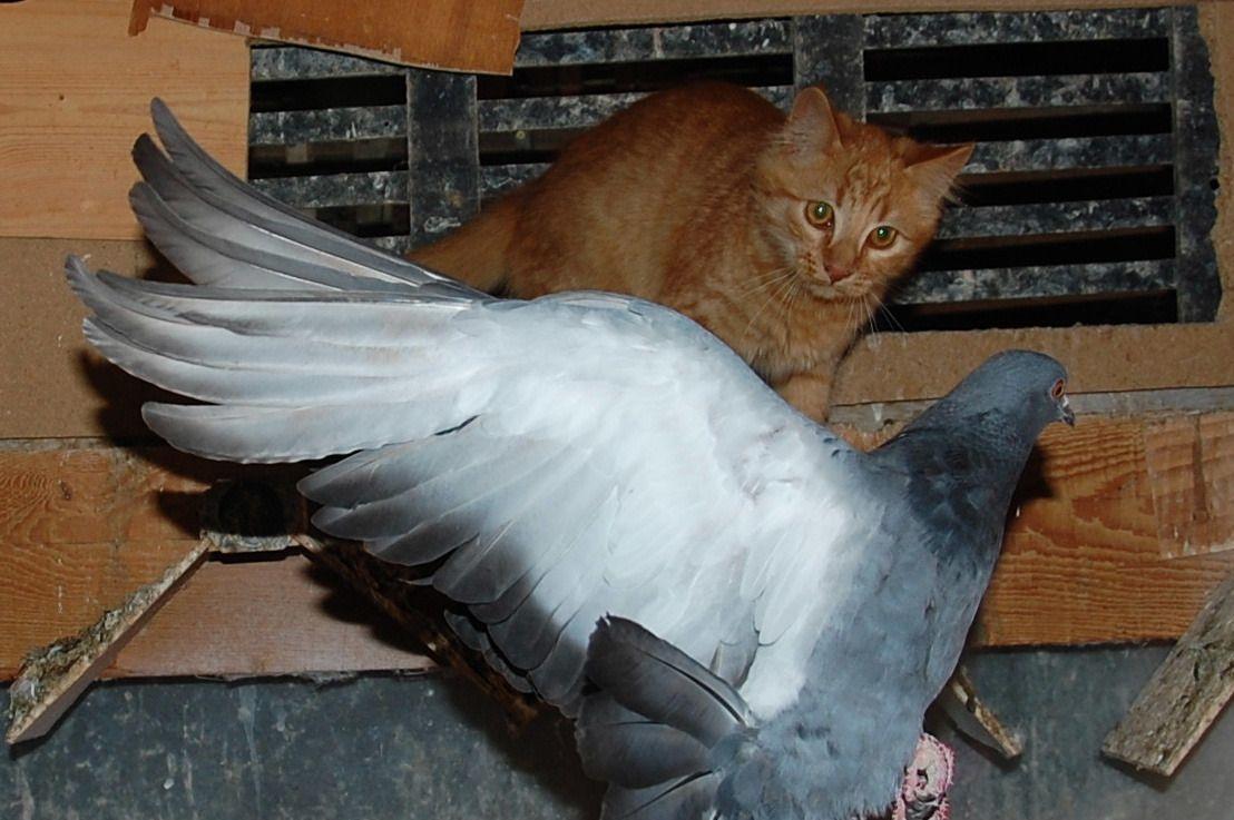 C'est quoi ce minet qui a pris ma place dit le pigeon !!