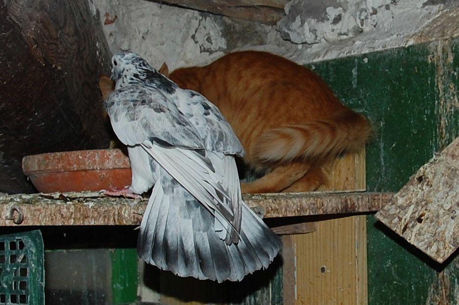 discussion oeuf entre mon chaton et une mère pigeon. (20)