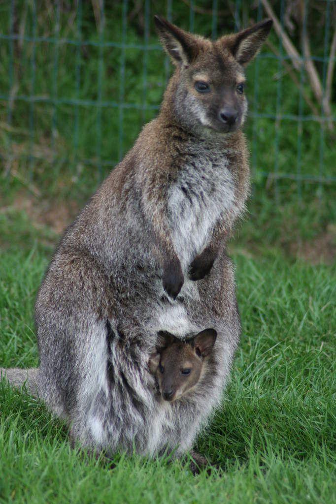 Un wallaby c'est un kangourou de petite taille, mais ici ce sont deux wallaby.