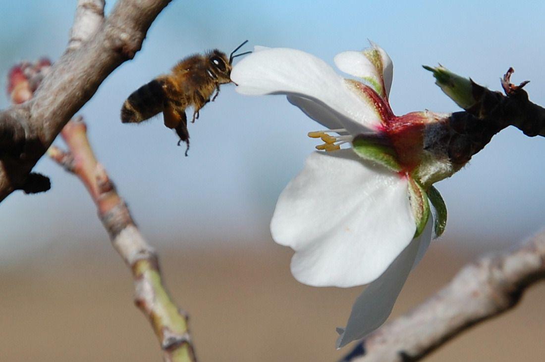 En vol stationnaire l'abeille.