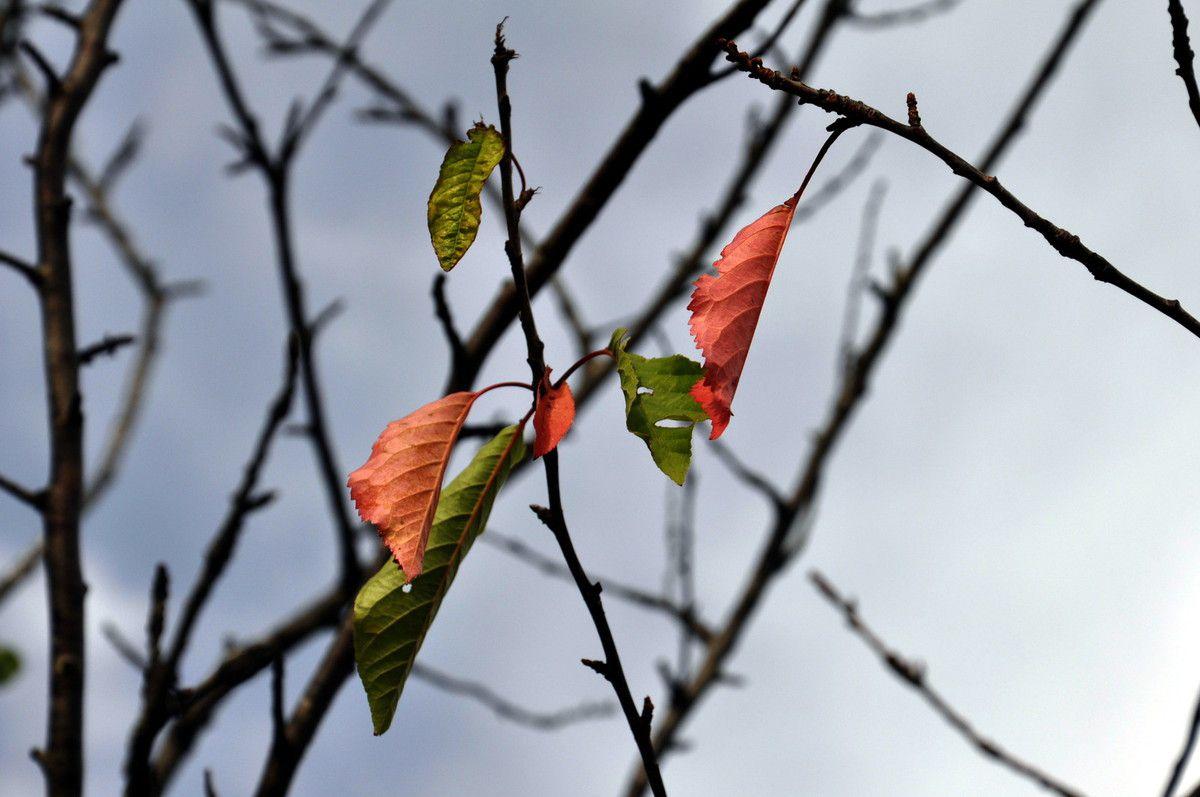 Feuilles de cerisier