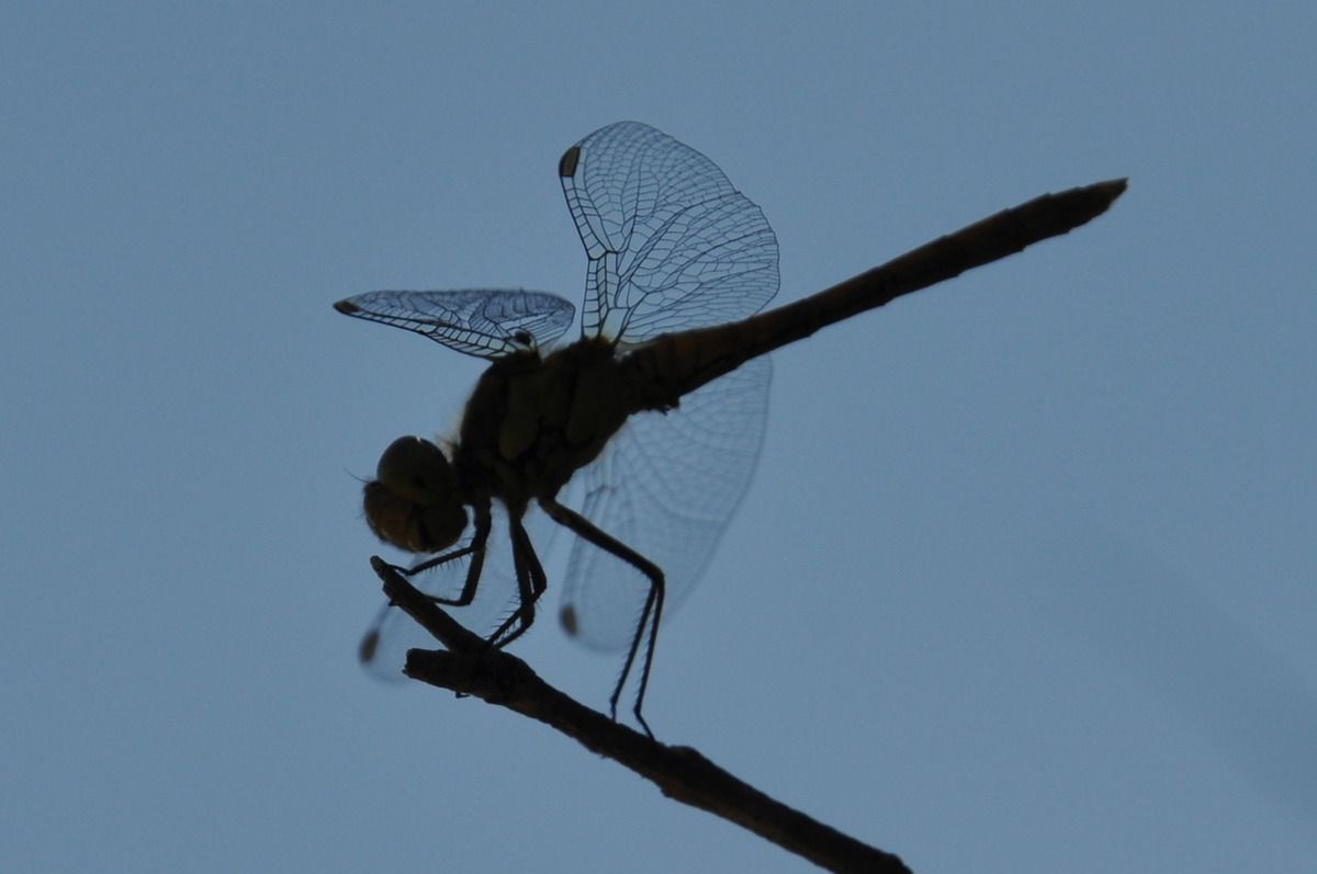 4 ailes dans le ciel bleu pour la libellule.