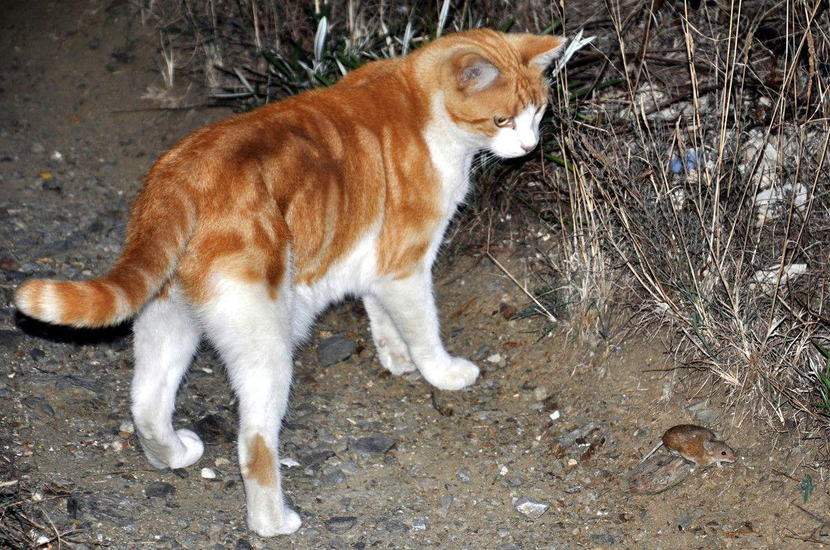 Miaou dit Ichat ! regarde un jeu ! une souris.
