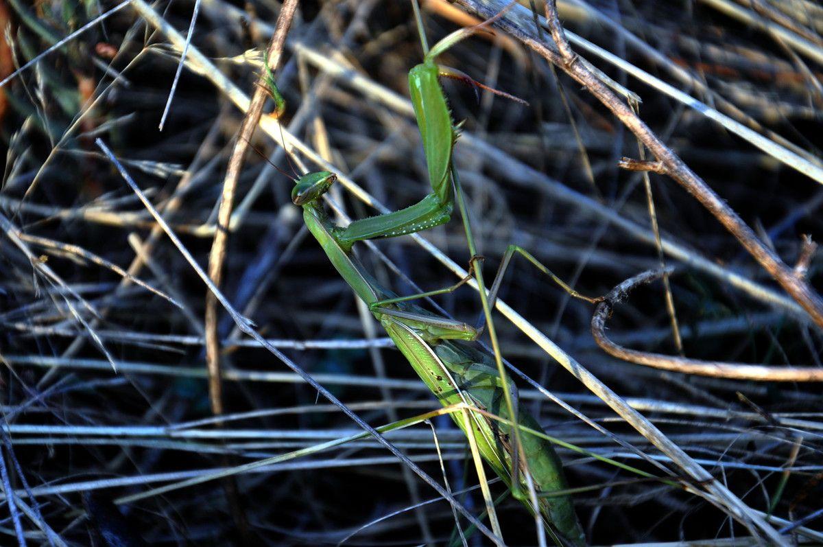 Voici la mante dans les herbes sèches.