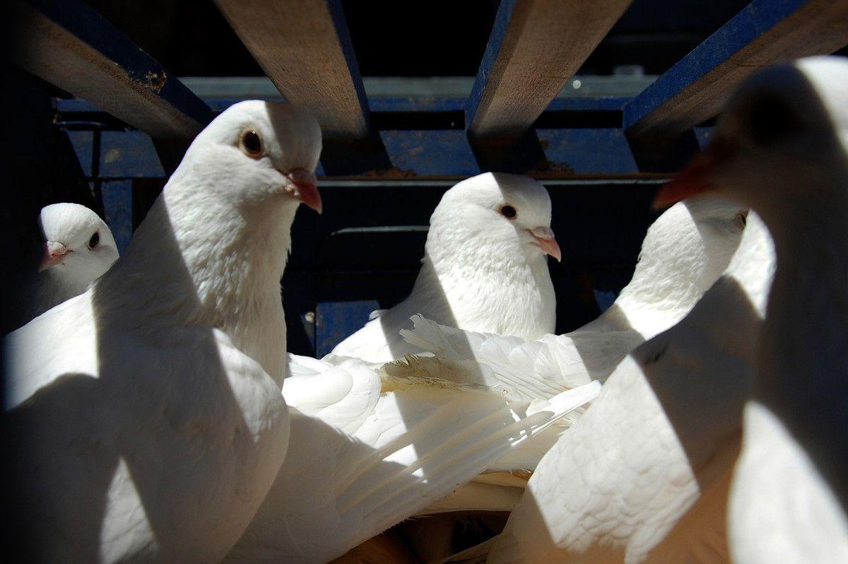 Mais que les oiseaux de paix sont beaux.