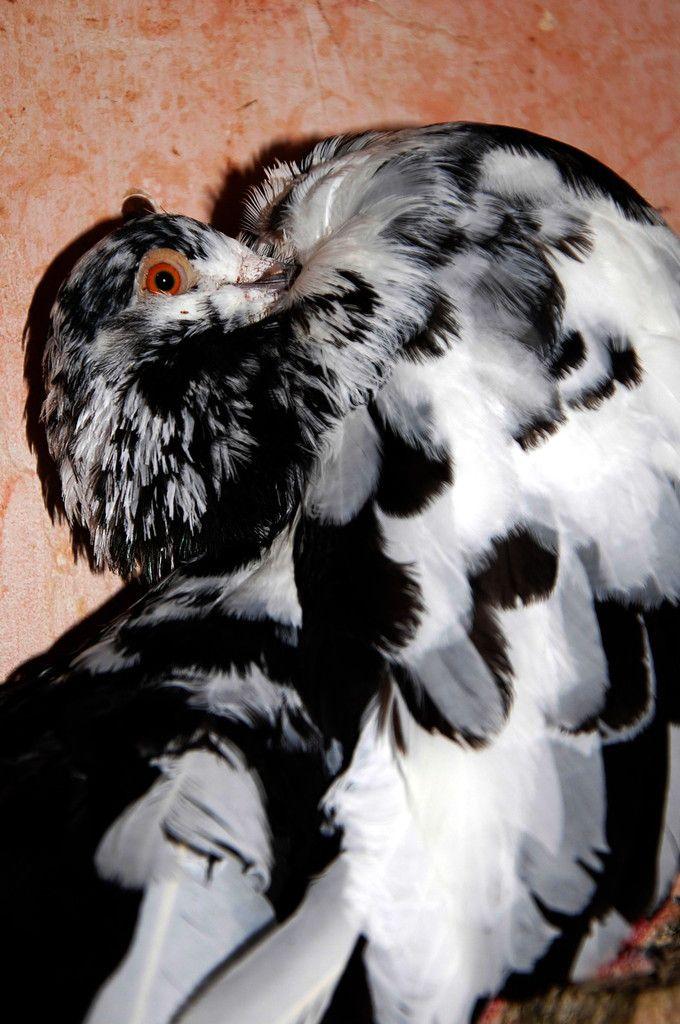 Gros plan sur ce trésor de pigeon paon blanc et noir.