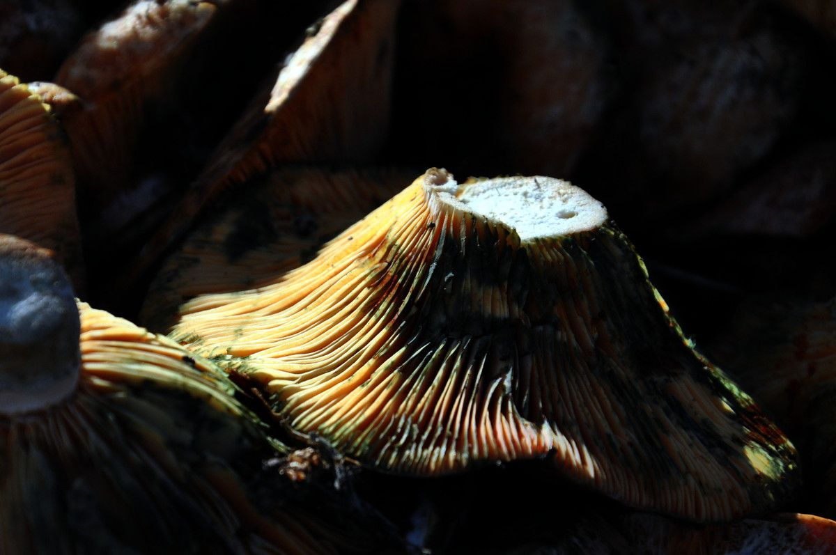 Des champignons qui .... .