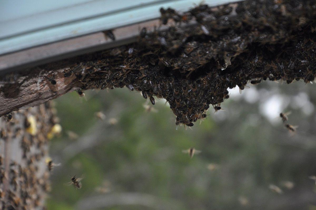 La vie des abeilles.