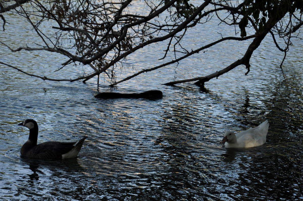 Un ragondin passe, des canards aussi. Ce lac est agréable.