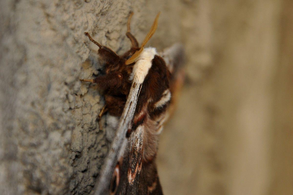 Fin de la série sur le plus grand papillon d'europe à Montner.