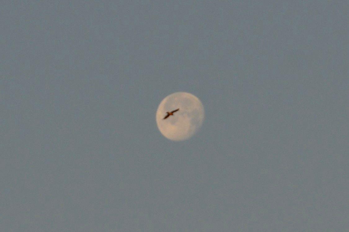 Magnifique le rapace et la lune.
