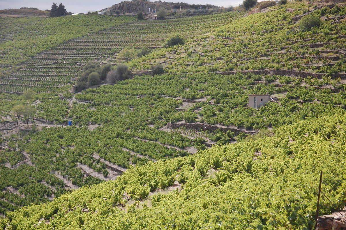 La vigne le 15 août