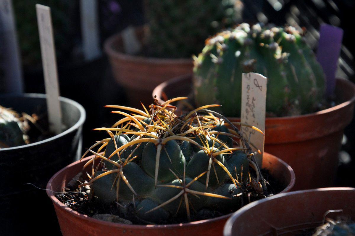 Les safrans et les cactus.