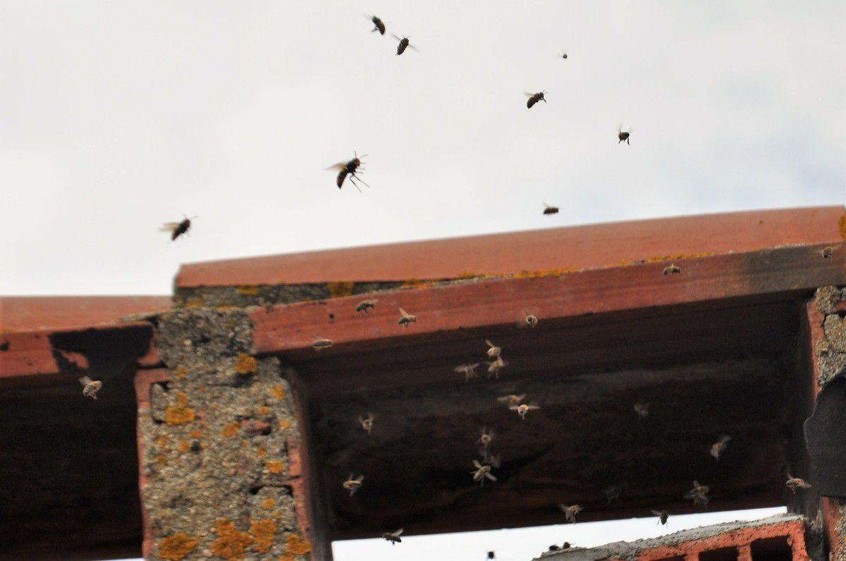 Photo de l'essaim et des frelons asiatiques.