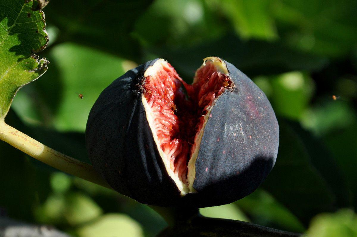 Violet de Solies ou bourgasotte noir.