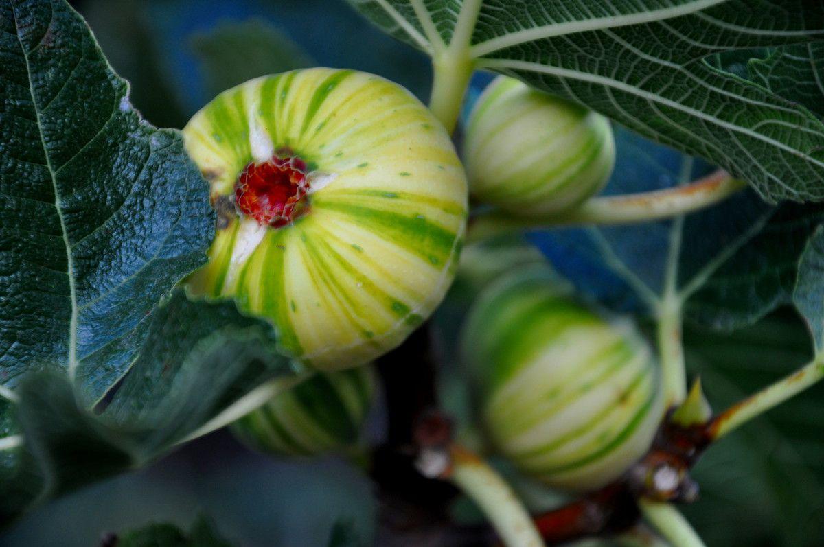 En tout plus de 12 variétés de figues.