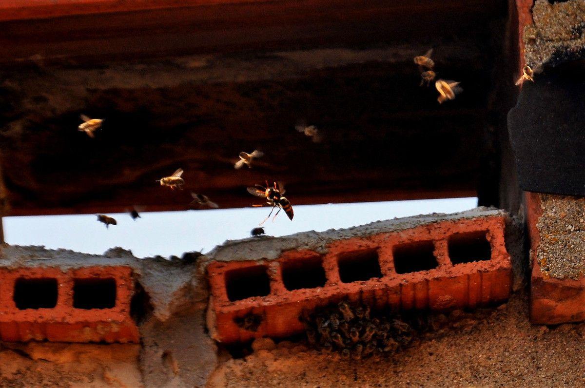 Le frelon asiation comme un gardien de but, au milieu pour attraper les abeilles