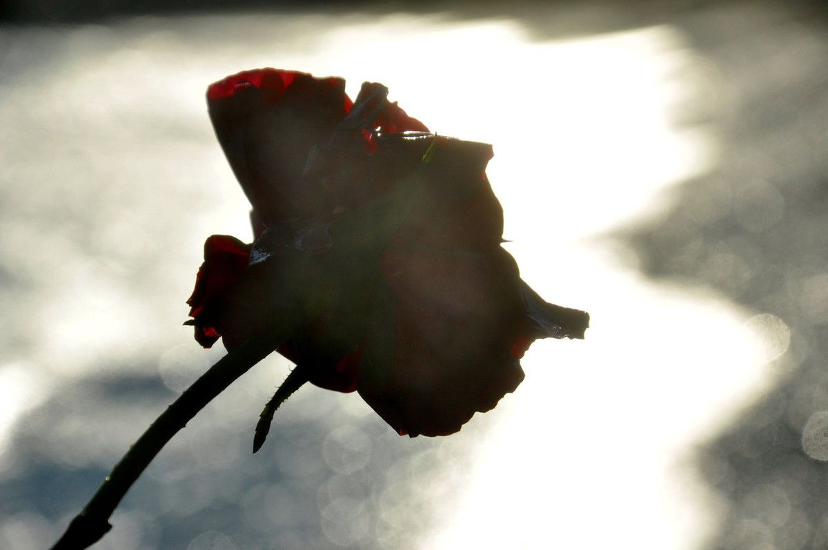 Un rose