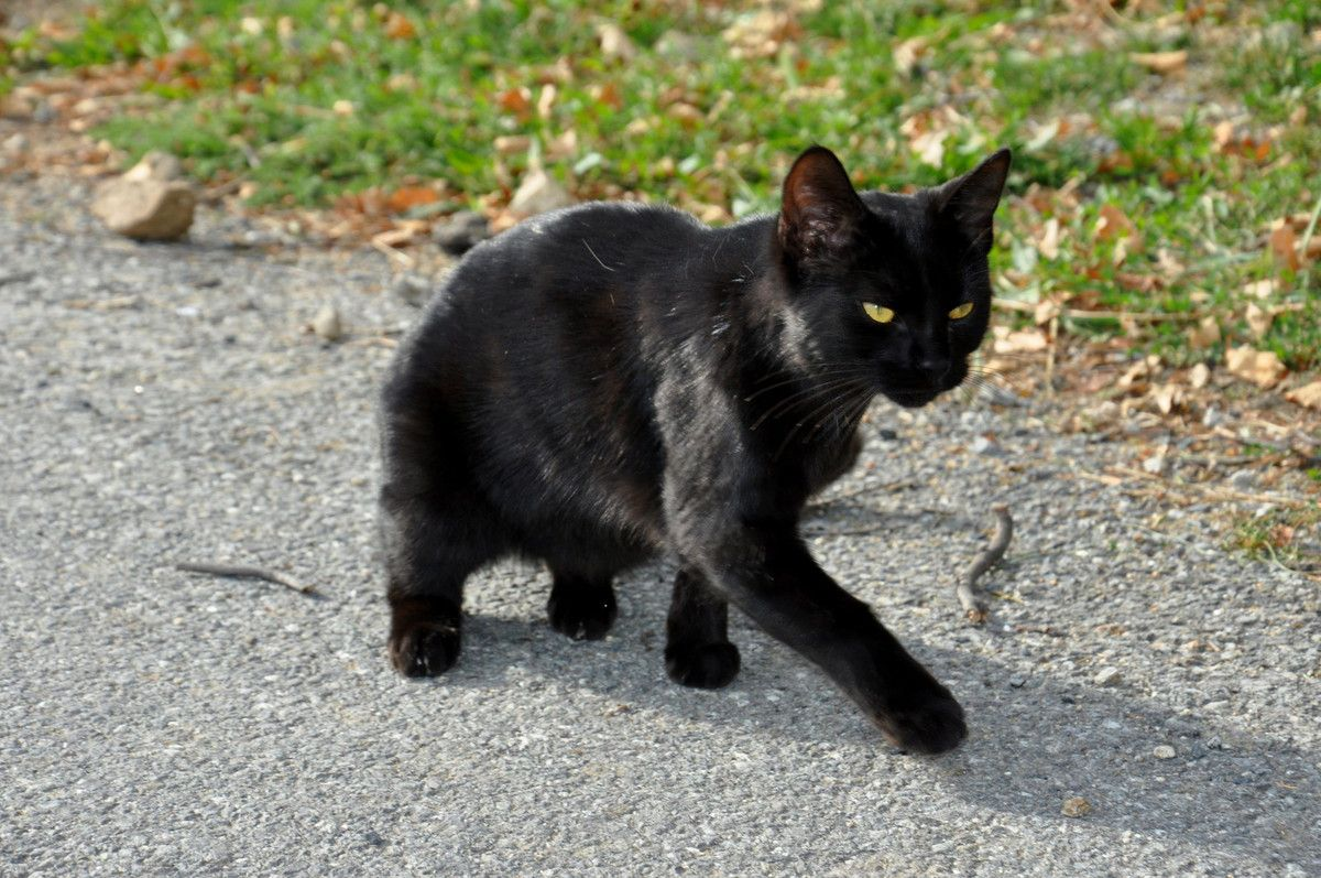Chat noir qui va suivre.