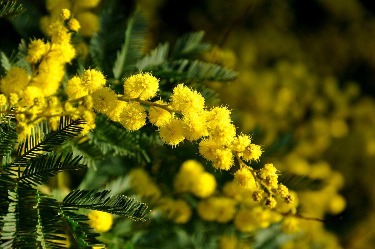 C'est juste pour le plaisir des fleurs de mimosa