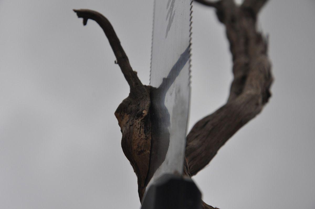 Et encore du bois de romarin sous la scie de l'homme à la pomme de pin.