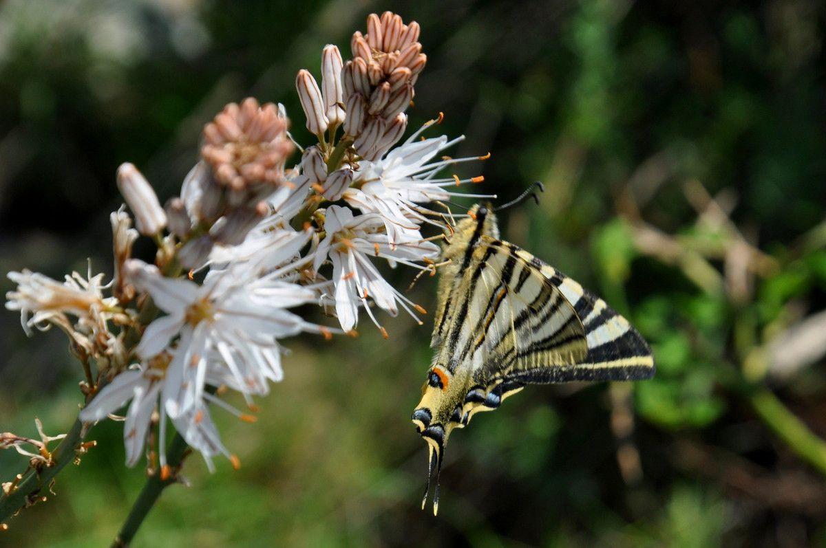 Couleurs chatoyantes, bonheur d'être devant et voir virevolter le grand papillon de fleur en fleurs, le suivre dans ces pérégrinations est un plaisir, même si ce papillon va un peu trop vite pour moi.