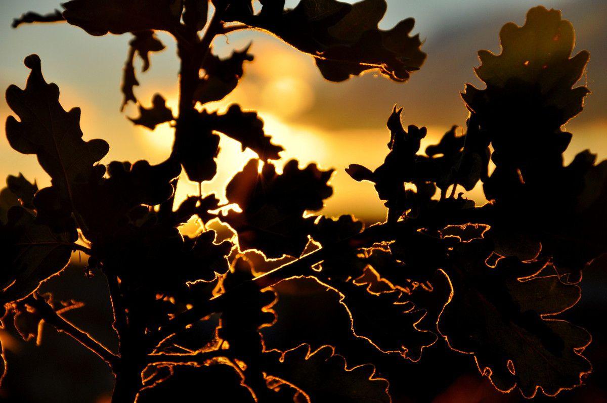 le chêne au soleil, des feuilles se dessinent comme rarement.