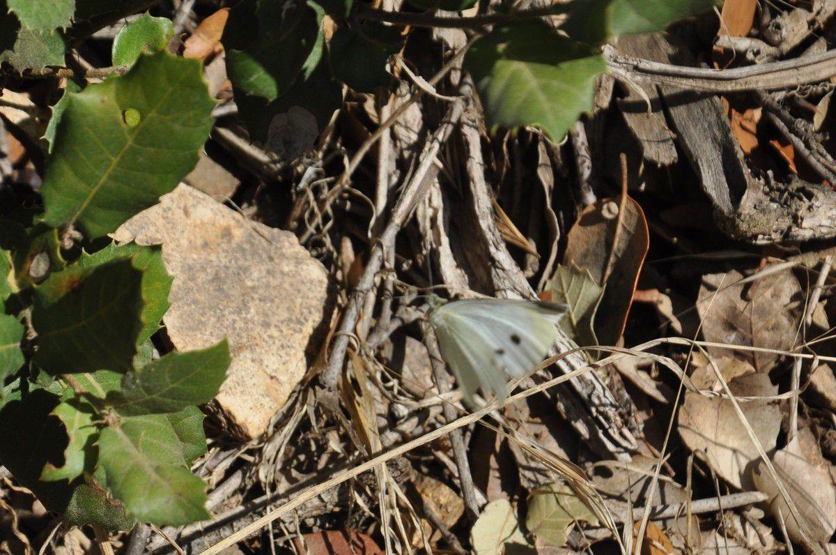 Papillon, troisième