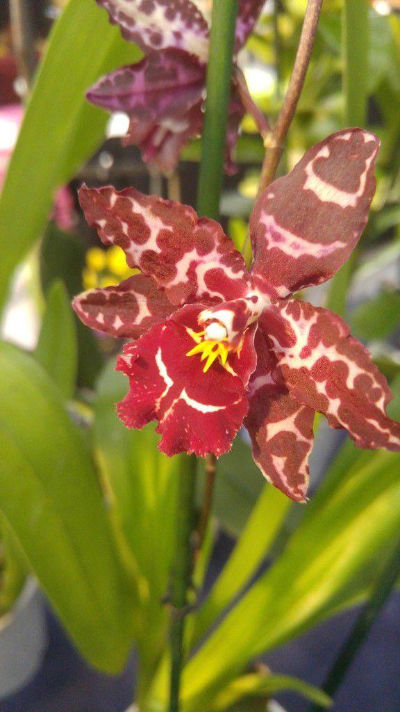 Orchidées des fleurs exceptionnelles.