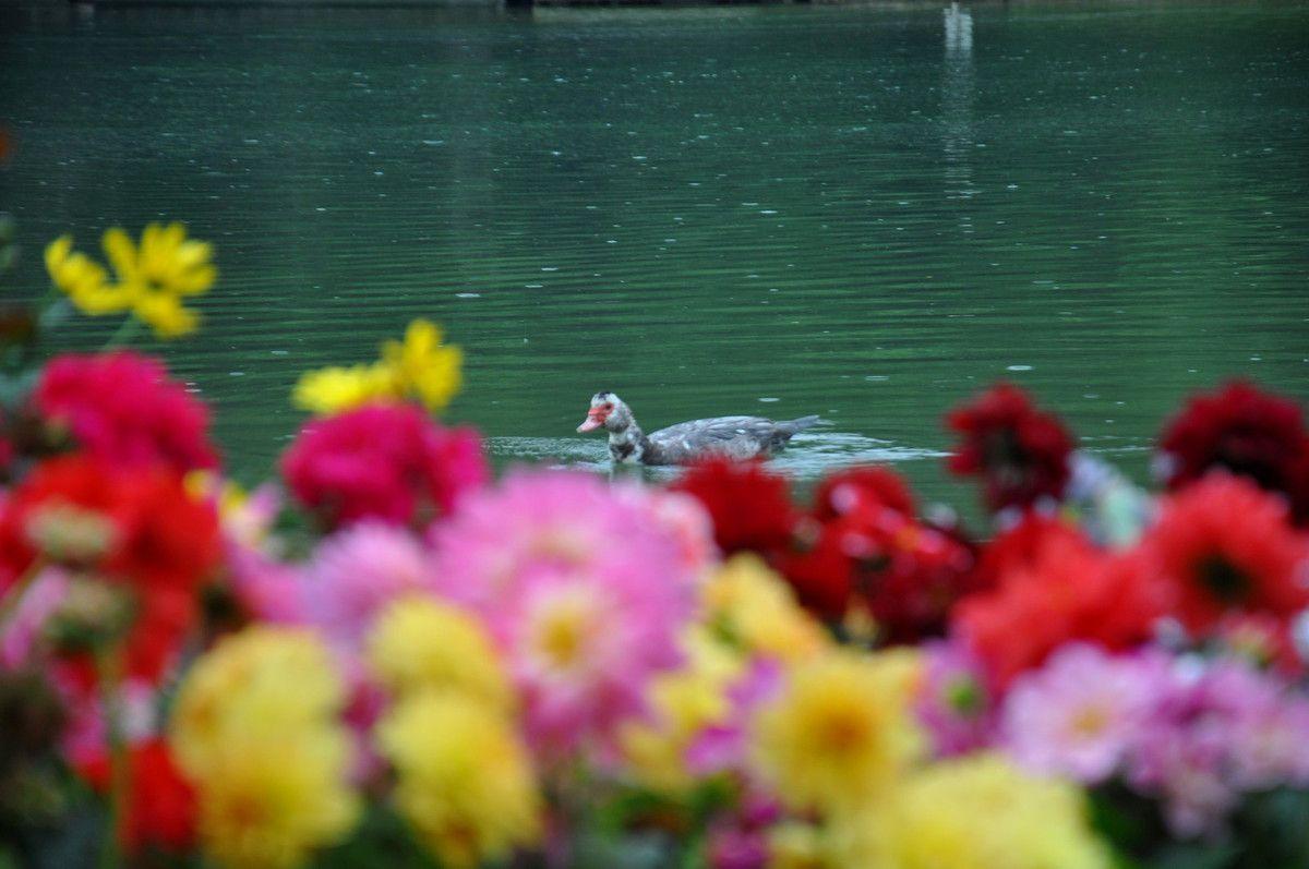 Un canard passe.