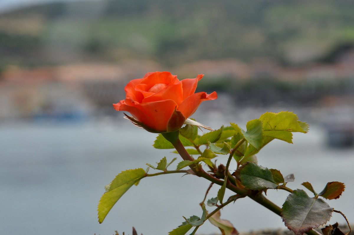 Une rose au Port de Port-Vendres.