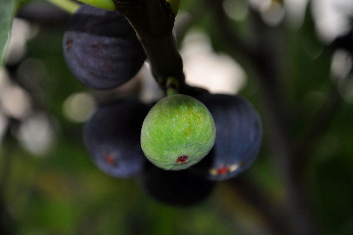 Quelques figues du verger.