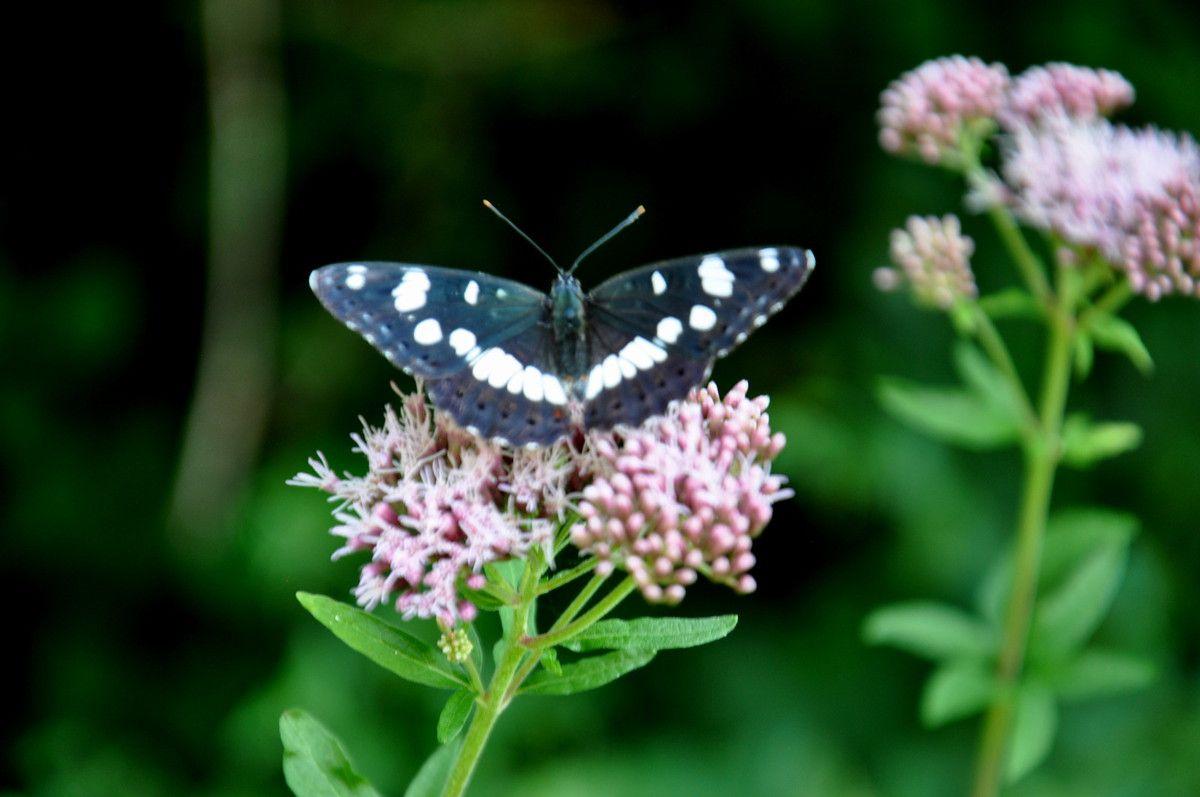 Magnifique et tranquille papillon