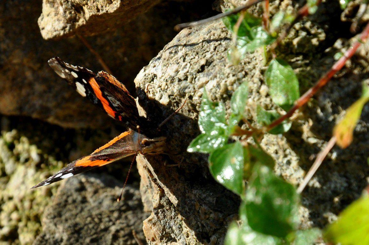 Ce papillon est un bon client, et en plus l'ombre est belle