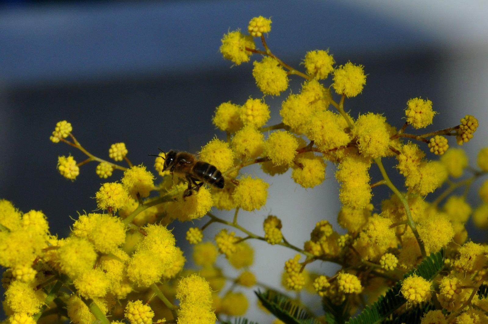 L'abeille adore le mimosa.