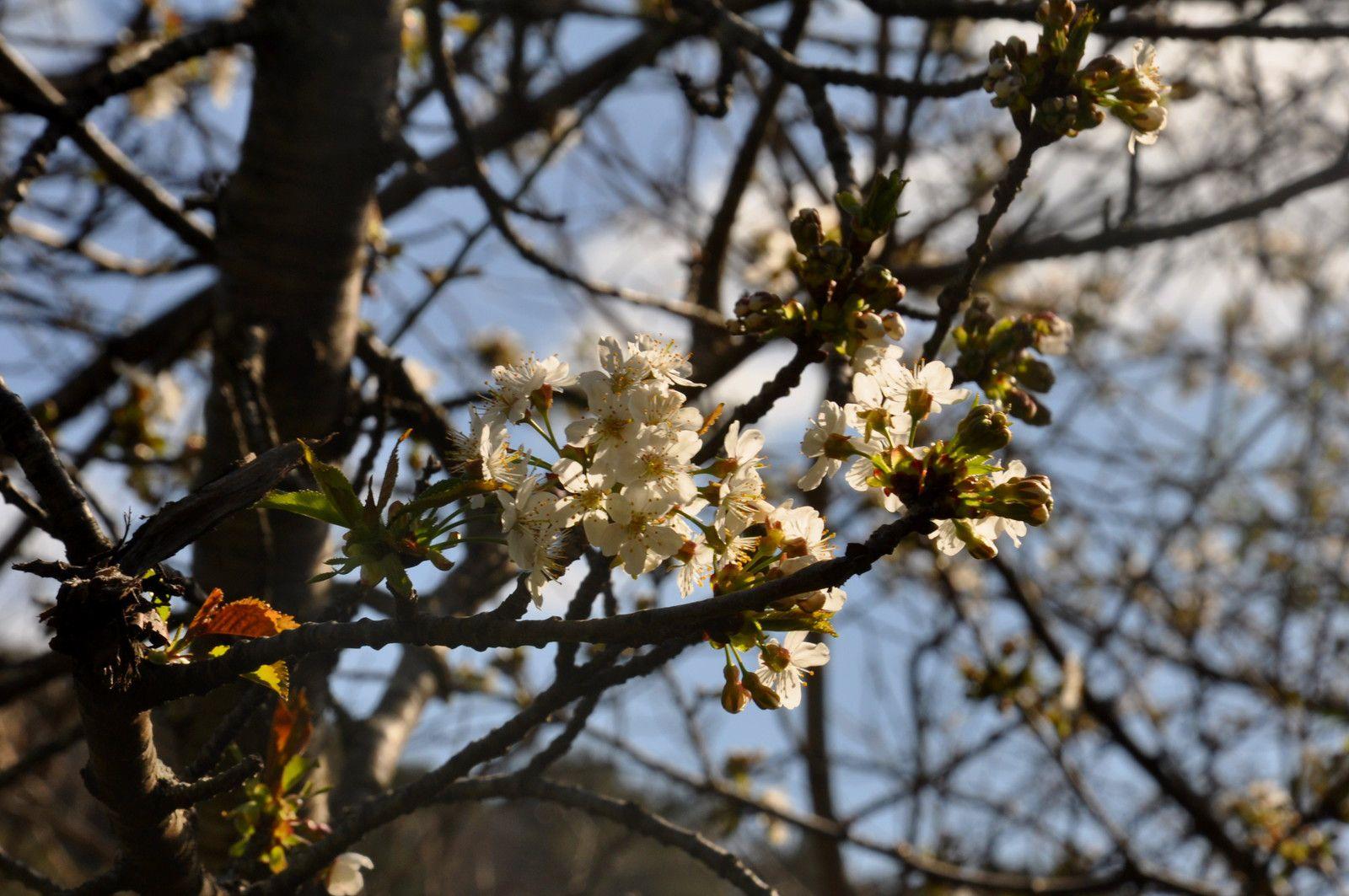 Un beau fruitier en fleurs