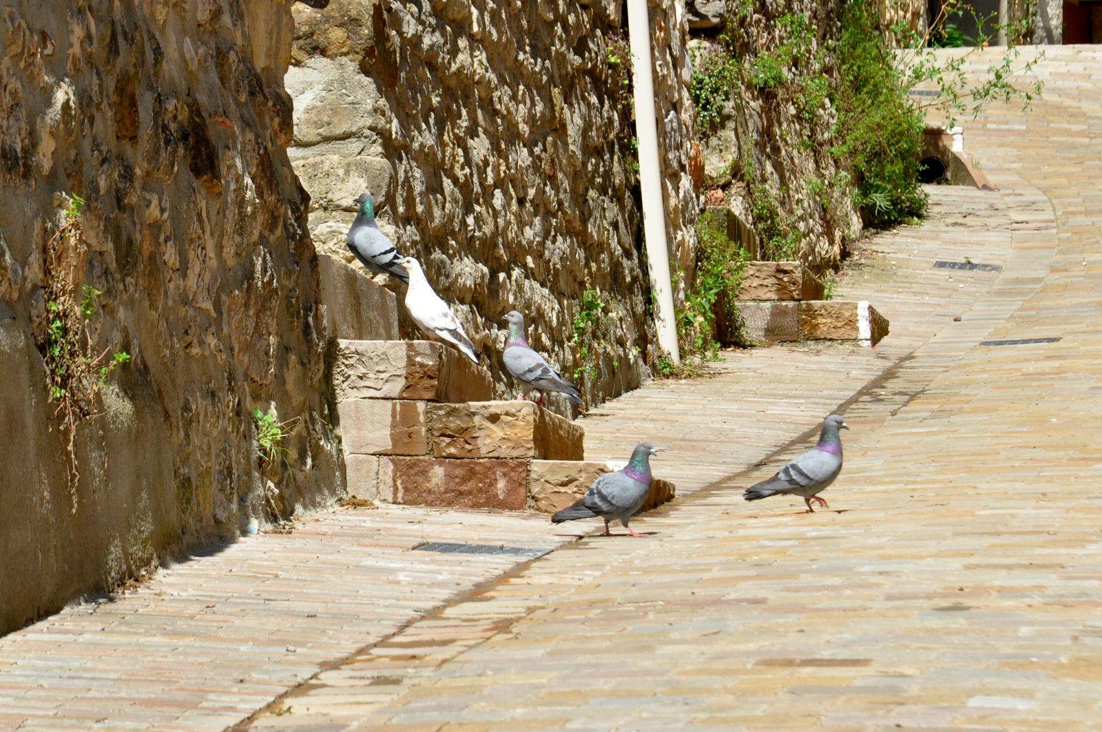 Des pigeons qui marchent