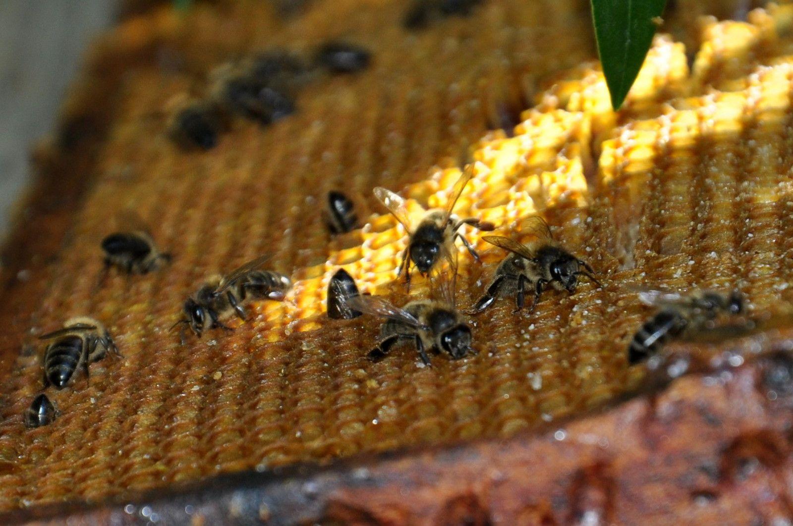 Les abeilles sur le cadre
