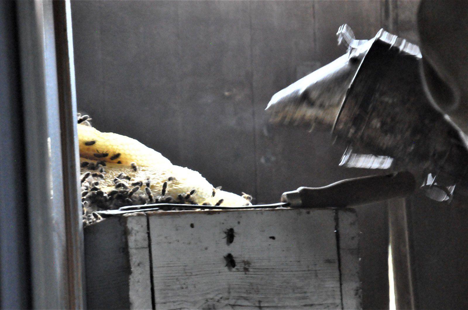 Brossage et enfumage pour faire tomber les abeilles dans la ruchette.