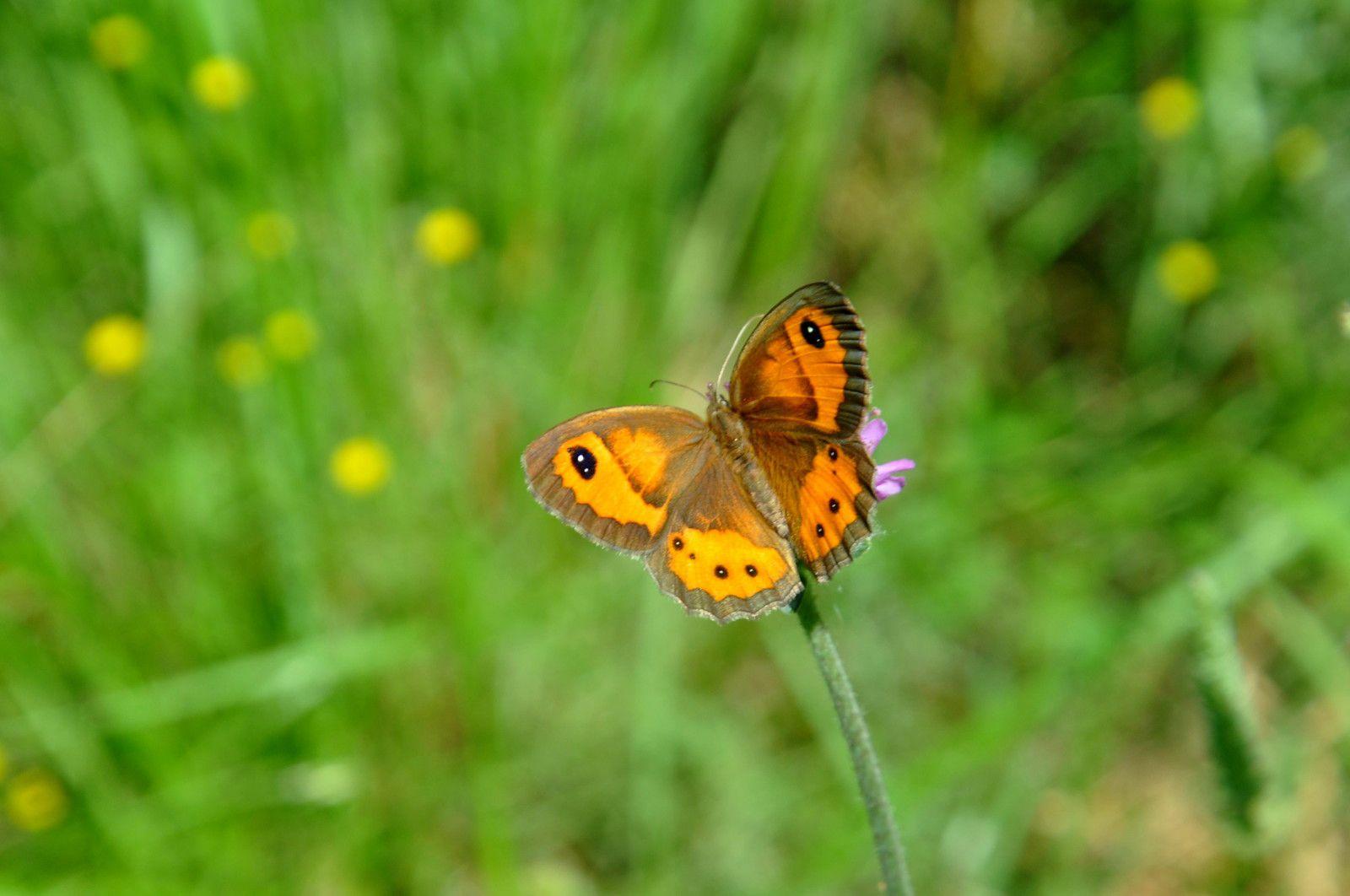 Ici les papillons c'est cadeau pour les photos.
