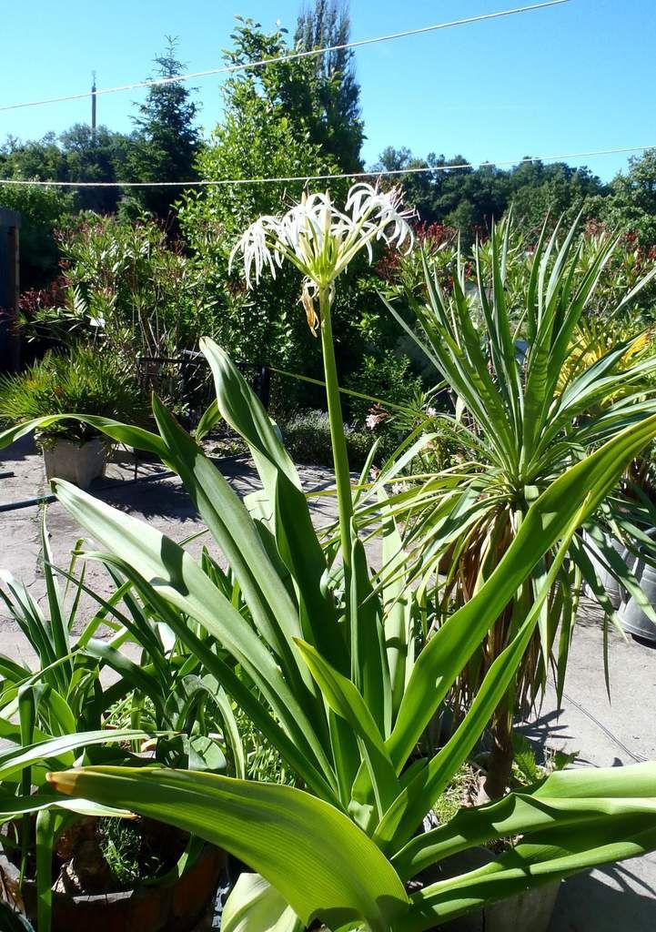 Die große Spinnenlilie