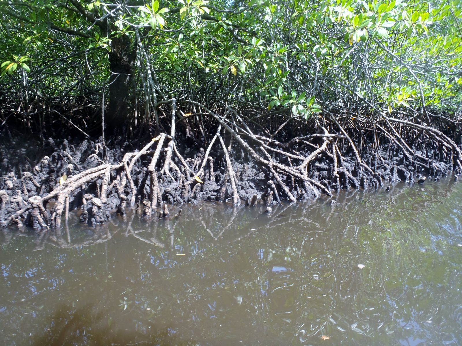 Mangrove Forest.