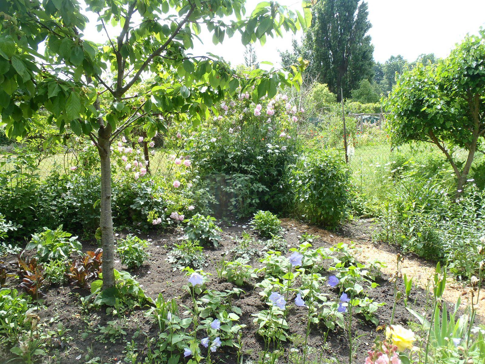 Grüne Bohnen, im Hintergrund Zucht--, und Wilddahlien.